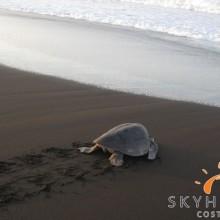 Meeresschildkröte Eiablage
